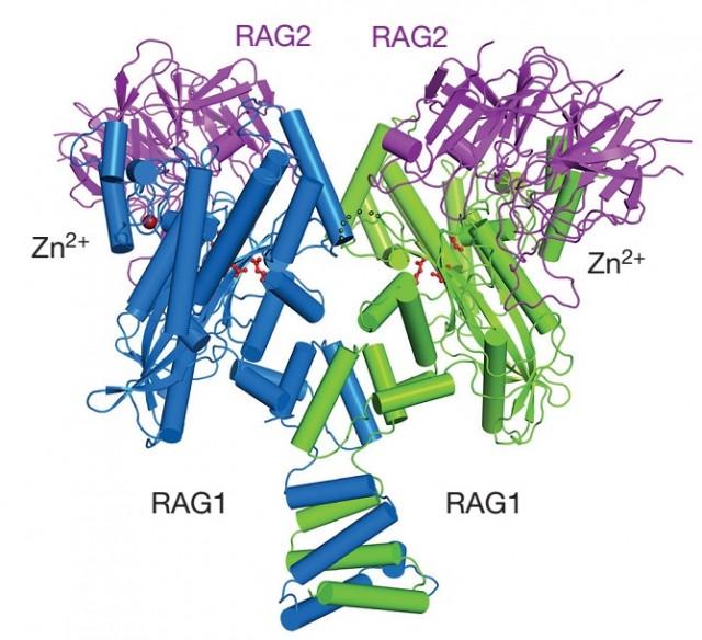 다양한 항체가 생성될 수 있또록 돕는 RAG 단백질의 3차원 구조 - 네이처 제공