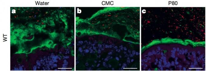 맹물(왼쪽)과 유화제인 CMC(가운데), P80(오른쪽)이 1% 들어있는 물을 먹은 생쥐의 장벽 단면의 공초점현미경 사진. 파란색이 상피세포, 녹색이 점막, 빨간색이 장내미생물이다. 맹물을 먹은 생쥐의 경우 장내미생물이 상피세포에 접근하지 못하지만 유화제를 탄 물을 먹은 생쥐의 경우는 점막이 얇아져 꽤 가까이 침투했음을 알 수 있다.  - 네이처 제공
