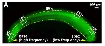 조류의 청각기관 내 청각세포를 형광으로 염색한 모습. 달팽이관의 한쪽 끝에는 고주파를 인지하는 청각세포가, 반대쪽 끝에는 저주파를 감지하는 세포가 자리잡고 있다. - PNAS 제공