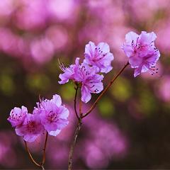 진달래는 왜 초봄에 피어날까