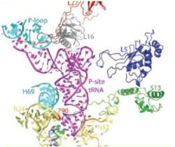 2006년에는 mRNA와 tRNA가 결합된 상태의 리보솜 입체구조가 밝혀졌다. - 과학동아 제공