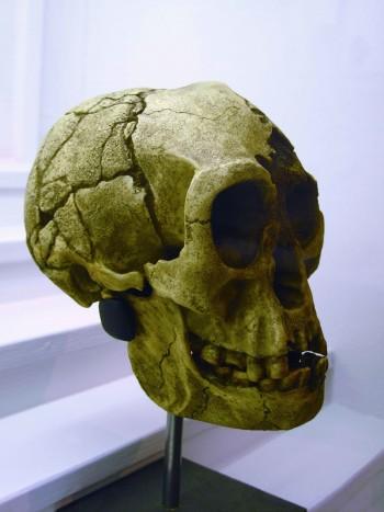플로레스인의 두개골 모형. 갓난아기보다 작다. 현생인류가 병에 걸려 머리가 작아졌다고 주장하는 학자도 있었다. - 위키미디어 제공