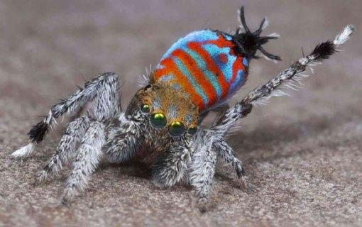 신종 공작거미 발견, 몸길이 5㎜… '전 세계 가장 귀여운 거미'