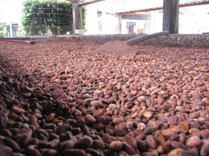 카카오 나무에서 거둔 카카오 열매의 모습.  - 펜실베니아주립대 제공