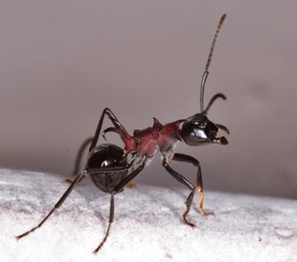 최재천 원장님이 국내 개미 중 가장 좋아하는 가시개미. 등에 달린 뿔이 인상적이다. - 어린이과학동아 제공