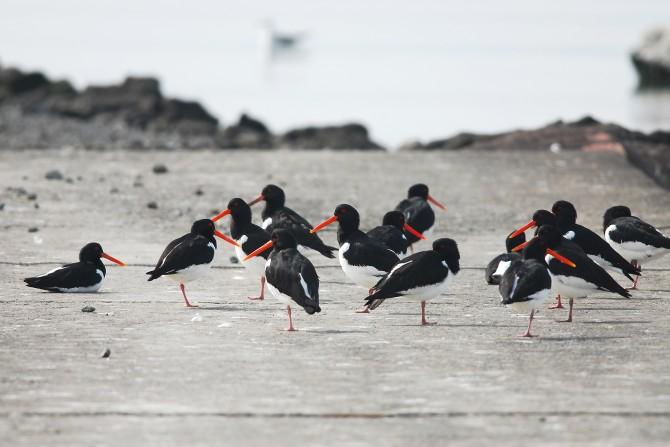 '갯벌 위의 신사'라는 별칭을 가진 검은머리물떼새. 우리나라를 거쳐 러시아로 날아가는 도요목 철새들은 긴 비행에 필요한 에너지를 얻기 위해 대부분의 시간을 먹이 활동에 전념한다. - 빙기창 박사 제공