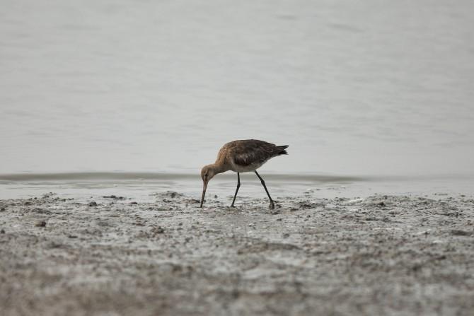 큰뒷부리도요. 한국엔 철마다 다른 철새가 날아온다. 봄철에만 100종이 넘게 찾아오는데 짧게는 수십, 길게는 수천km를 이동하는 '강철체력'들이다.  - 빙기창 박사 제공
