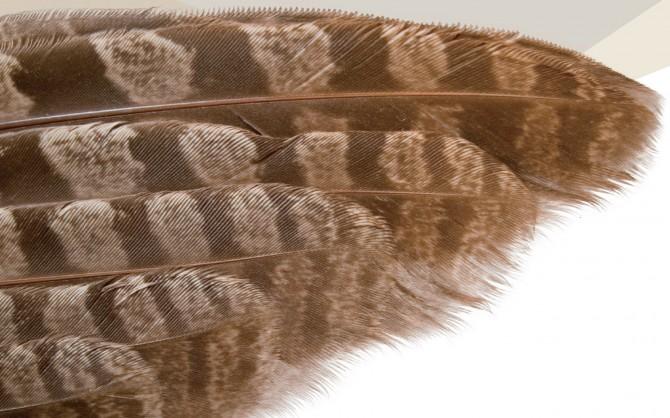 부엉이의 날개. 말단에 있는 부드러운 솜털이 날갯짓 소리를 흡수해 소리 없이 먹잇감에 접근할 수 있다. - istockphoto 제공