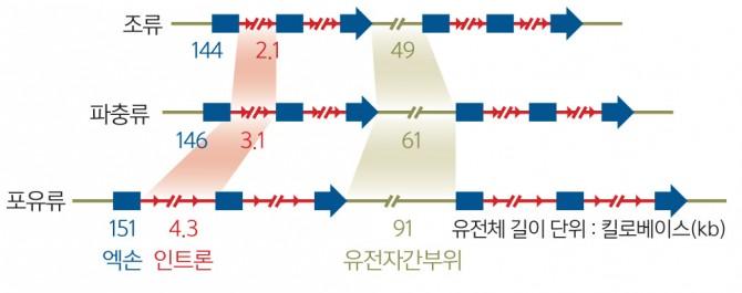 조류 vs 파충류 vs 포유류 유전체 비교(세 동물군에서 생명활동에 필요한 단백질을 만드는 영역(엑손)은 모두 유사하지만, 단백질 발현을 조절하는 부분(인트론, 유전자간부위 등 비암호화 DNA) 양은 조류가 가장 적다. 조류의 유전체가 파충류나 포유류 유전체에 비해 훨씬 효율적이라는 의미다.) - 과학동아 제공