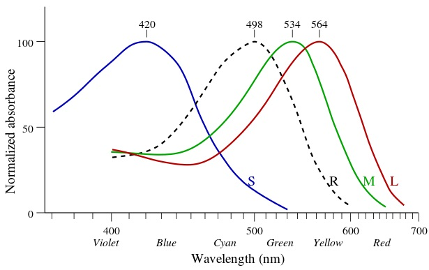 2_사람에서 이미지를 보는 빛수용체는 네 가지가 있는데 각각 파장에 따른 흡수패턴이 다르다. 형태를 보는 막대세포에서 발현하는 로돕신(점선)은 최대 흡수 파장이 498나노미터이고 색을 보는 원뿔세포에서 발현하는 아이오돕신은 세 종류가 있는데 각각 최대 흡수 파장이 420, 534, 564나노미터다. 최근 발표된 동물실험 결과를 보면 파란색에 민감한 빛수용체가 있는 원뿔세포가 일주리듬에 관여할 가능성이 있다.  - 위키피디아 제공