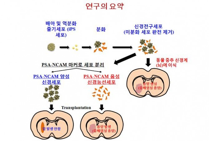 연대 의대 김동욱 교수팀은 신경세포로 분화한 iPS 세포에서 신경능선세포만을 제거해내고 이 세포가 종양을 유발한다는 사실을 밝혔다. - 연세대 제공