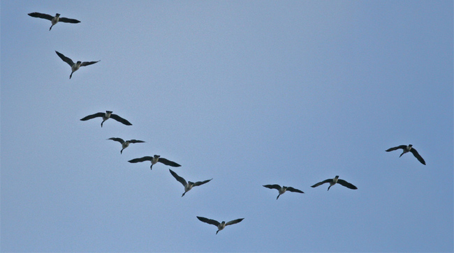 V자 모양을 이루며 이동하는 철새들. 먼 거리를 이동하는 철새는 인간이 갖지 못한 자기장 감지 능력으로 이동 경로를 정확히 파악한다. - John Benson(flickr.com) 제공