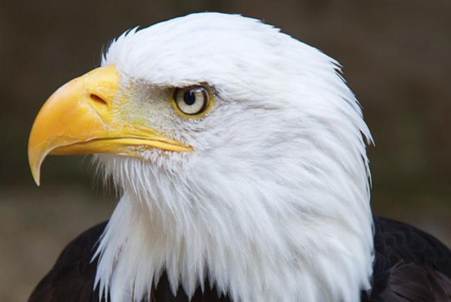 새는 머리에 비해 안구가 커서 시력이 좋을 뿐 아니라 자외선까지 볼 수 있다. 독수리의 안구 지름은 사람의 두 배 수준인 46mm로 알려졌다. - Tony Hisgett 제공
