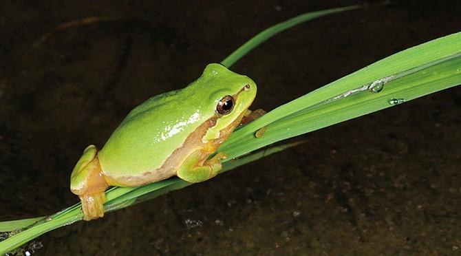 수원청개구리는 청개구리보다 몸집이 작다 - 국립환경과학원 제공