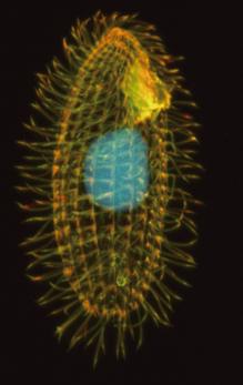 원생생물인 테트라하이메나의 현미경 사진. 가운데 대핵(macronucleus) 안에 리보솜DNA 사본이 1만 개나 들어 있다. 체크 교수팀은 리보솜DNA의 전사과정을 연구하다 리보자임을 발견했다. - PLoS Biology 제공