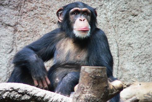 침팬지에게 인신보호영장 발부할 수 있나