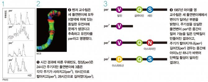 초파리 per 유전자 돌연변이 - 1971년 시모어 벤저 교수팀은 인위적으로 돌연변이를 일으켜 우화의 주기성이 교란된 돌연변이체 3종을 얻어 최초로 생체시계 유전자의 실체를 밝히는 데 성공했다. - 과학동아 제공