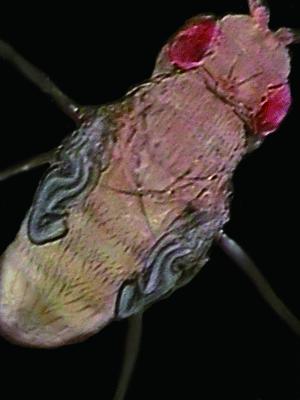 초파리는 해 뜰 무렵 우화하고 성체는 주로 낮에 활동한다. 이런 주기적인 활동, 즉 행동에는 생체시계 유전자가 관여한다. - DevBio.net 제공