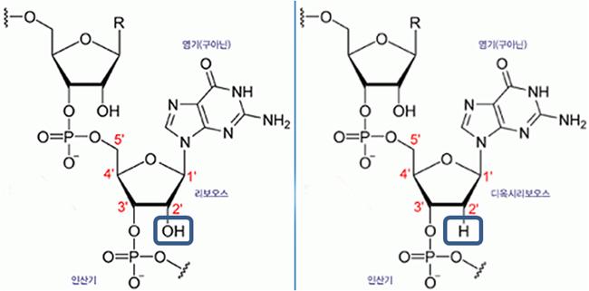 RNA(왼쪽)와 DNA의 화학구조 - (주)동아사이언스 제공
