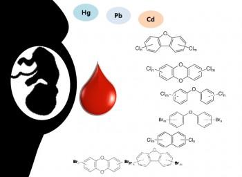 임신부의 체네에 쌓인 중금속과 환경호르몬이 태반과 탯줄의 혈액인 제대혈을 통해 태아에게 전달된다는 사실이 밝혀졌다. - 포스텍 제공