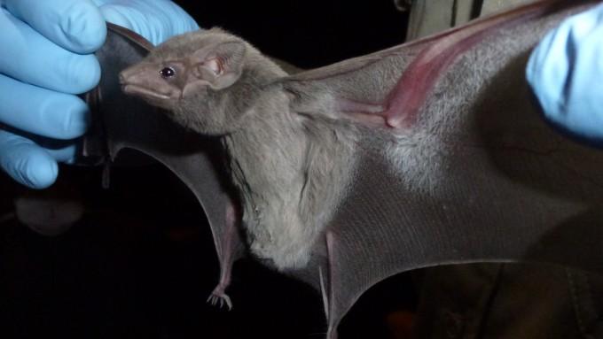 지난 2013년 메르스 바이러스가 이집트무덤박쥐에서 나왔다는 연구결과가 나왔다. 사진은 이집트무덤박쥐의 모습.  - 조나단 엡스타인 제공
