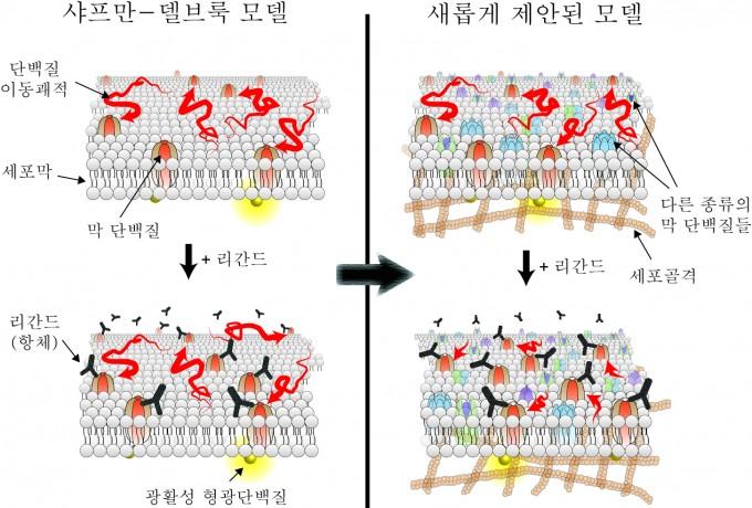 류성호 교수팀이 이번에 발견한 모델과 기존 샤프만-델브룩 모델의 차이. 기존 모델에서는 외부 물질이 세포막에 붙어도 막 단백질의 움직임이 변하지 않는다고 알려졌지만, 이번에 연구진은 물질이 붙으면 막 단백질의 움직임이 느려진다고 발표했다.  - 포스텍 제공