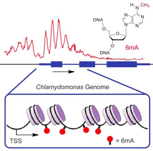 아데닌도 메틸화돼 메틸아데닌(6mA, 그림 오른쪽 위 분자)로 바뀔 수 있다. 6mA는 박테리아에서 게놈을 보호한다는 역할을 하는데, 최근 진핵생물에서도 후성유전학적 기능이 있음을 시사하는 연구결과들이 나오고 있다. 예를 들어 녹주류인 클라미도모나스의 게놈을 분석해보면 발현이 많이 되는 유전자에서 6mA의 빈도가 더 높다. - 셀 제공