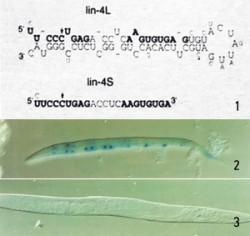 앰브로스 교수팀은 lin-4 유전자가 발현된 뒤 염기 61개짜리 RNA 가닥(lin-4L)과 22개짜리 RNA 가닥(lin-4S)이 만들어진다는 사실을 발견했다(➊). 훗날 22개짜리는 마이크로RNA로, 61개짜리는 전(前) 마이크로RNA로 명명됐다.마이크로 RNA인 lin-4S는 lin-14 단백질이 만들어지는 걸 방해한다. 그 결과 lin-4S 양이 적은 발달 초기에는 lin-14 단백질(파란색)이 많지만(➋) lin-4S 양이 많은 발달 후기에는 lin-14 단백질이 거의 없다(➌). - 셀 제공