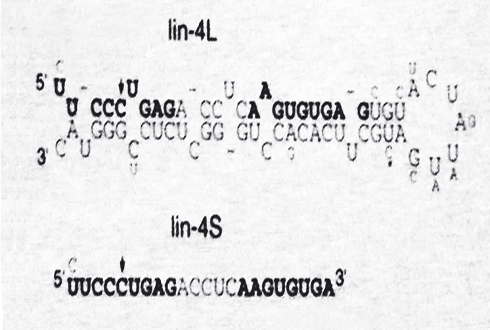 1993년 빅터 앰브로스 박사의 마이크로RNA 발견
