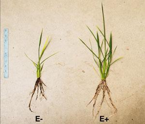 질소가 부족한 환경에서 벼를 키울 경우 생장이 부진하다(왼쪽). 이때 미루나무와 버드나무에서 분리한 질소고정 박테리아를 접종하면 생장이 개선된다(오른쪽). 최근 콩과식물 외의 식물에서도 질소고정이 일어난다는 연구결과가 속속 나오고 있다. - 김형민 제공
