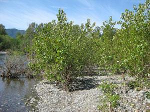 미국 워싱턴대 섀런 도티 교수팀은 워싱턴주 서부에 흐르는 스노퀼미강의 강변에 자라고 있는 미루나무(사진)와 버드나무에서 질소고정 식물내생박테리아 균주들을 분리했다. - 섀런 도티 제공