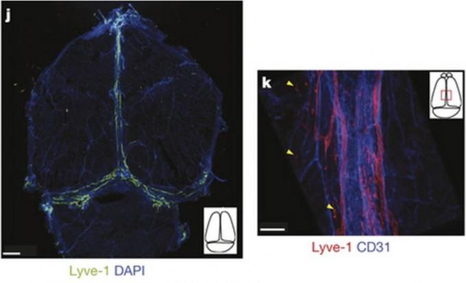 뇌에도 림프관이 존재한다는 사실이 최근 밝혀졌다. 왼쪽은 생쥐의 뇌를 위에서 바라본 모습으로 좌뇌와 우뇌, 소뇌(아래) 사이의 정맥동을 따라 림프상피세포, 즉 림프관이 존재함을 알 수 있다. 림프상피세포에 있는 Lyve-1단백질을 표지로 썼다. 오른쪽은 림프상피세포(Lyve-1, 빨간색)와 혈관상피세포(CD31, 파란색)에서 발현하는 유전자를 표지로 한 이미지로 혈관(정맥)에 나란히 림프관이 존재함을 알 수 있다. - 네이처 제공