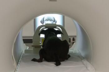 에모리대 연구진이 개와 진행한 fMRI 실험을 통해 개에게는 사람이나 다른 개의 얼굴을 인식할 수 있는 선천적인 능력이 있다는 사실을 알아냈다. - 에모리대 제공