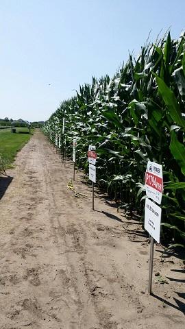 듀폰 파이오니어 연구센터에 있는 시험농장. 테오신트 부터 연구센터에서 개발한 옥수수 품종을 한 눈에 볼 수 있다.
