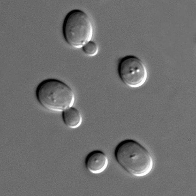 효모의 현미경 사진. 단세포 진핵생물인 효모는 평소 무성생식(출아)으로 번식한다. - 위키피디아 제공 제공
