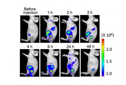 세포 자정작용 이용…신개념 항암 치료법 나왔다