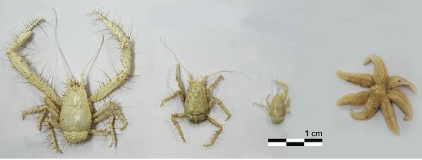 열수 생명체인 키와 게(사진 왼쪽부터 3개)와 일곱다리 불가사리(맨 오른쪽). 극지연구소 제공