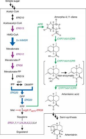 2006년 말리리아 약인 아르테미시닌의 전구체인 아르테미신산을 합성하는 효모를 만드는데 성공했다는 연구결과가 발표되고 7년이 지난 2013년 상업화에 성공했다. 아르테미신산 생합성 경로로, 녹색으로 표시한 부분이 개똥쑥에서 도입한 유전자가 관여하는 부분이다.  - 네이처 제공