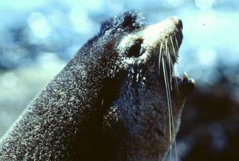 남극물개가 자기 자식 찾는 비법은 '목소리'