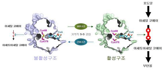 바이오부탄올 생산을 돕는 효소(thiolase)의 산화-환원과정을 나타낸 모습