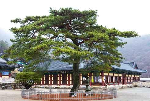 외갓집 부엌의 소나무