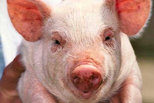 돼지 간, 근육은 이렇게 만들어진다