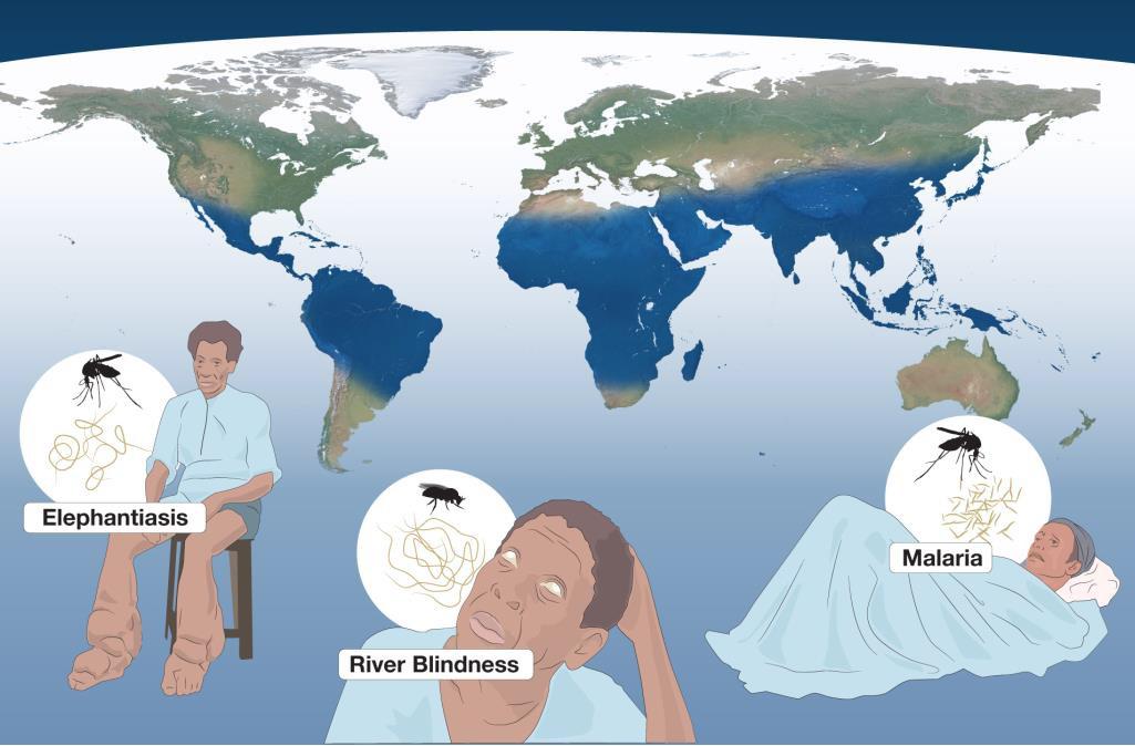 2015 노벨생리의학상은 치명적인 질병에 대한 치료법을 개발한 과학자들에게 돌아갔다. 사상충증, 림프사상충, 그리고 말라리아 치료제를 개발한 것. 지도에서 파란색으로 표시된 부분이 주 감염국으로 전 세계에 널리 퍼져있음을 알 수 있다. - 노벨상위원회 제공
