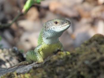 비리딘 도마뱀은 다른 파충류들과 달리 ZW형 성염색체를 지닌다. 즉, 파충류가 일반적으로 암컷의 비율이 높은 반면 비리딘 도마뱀은 수컷의 비율이 높다는 것이다. - 네이처 제공