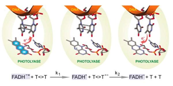 DNA복구 과정의 하나인 광재활성화가 일어나는 메커니즘. 티민 사이에 결합이 일어나면 광분해효소가 이를 인식해 다가오고 빛의 도움으로 발색단(FADH-)의 전자를 제공한다(왼쪽). 전자 하나를 받은 티민 쌍의 전자구름이 재배치되면서(가운데) 결합이 끊어져 다시 정상적인 티민 두 개로 나뉘고 전자는 다시 효소의 발색단으로 넘어간다(오른쪽) - 노벨재단 제공