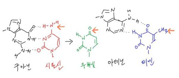 DNA가닥에서 시토신이 우라실로 바뀌는 탈아미노화반응이 자주 일어난다. 이를 방치하면 구아닌 대신 아데닌이 결합하는 변이가 일어난 가닥이 생긴다. 린달 교수는 시토신 유래 우라실을 다시 시토신으로 복구하는 메커니즘을 규명했다. DNA에서는 RNA와는 달리 우라실 대신 티민이 쓰이는 것도 이 복구 메커니즘의 혼란을 없애기 위한 결과다. - 강석기 제공