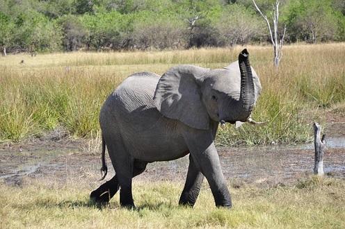 코끼리가 암에 잘 안 걸리는 이유