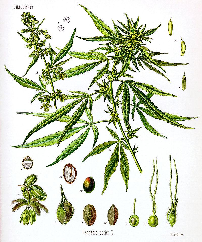 대마(삼)는 맥주의 원료로 쓰이는 홉과 가까운 식물이다. 대마에 대한 식물학적 연구는 여전히 혼란스러운 상태로, 식물학자에 따라 대마를 한 종(Cannabis sativa) 또는 두 종(C. sativa와 C. indica) 또는 세 종(앞의 두 종에 C. ruderalis)으로 분류한다.