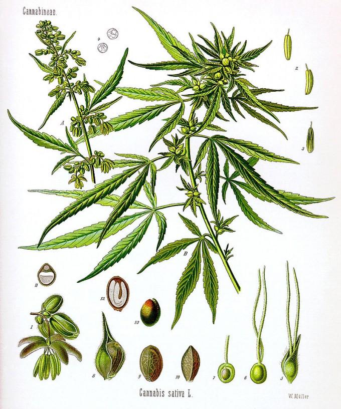 대마(삼)는 맥주의 원료로 쓰이는 홉과 가까운 식물이다. 대마에 대한 식물학적 연구는 여전히 혼란스러운 상태로, 식물학자에 따라 대마를 한 종(Cannabis sativa) 또는 두 종(C. sativa와 C. indica) 또는 세 종(앞의 두 종에 C. ruderalis)으로 분류한다. - 위키피디아 제공