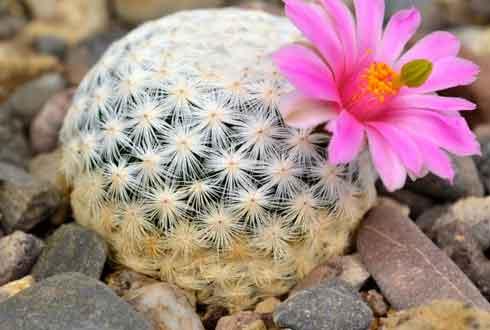 선인장, 예쁜 꽃 때문에 사라질 수도